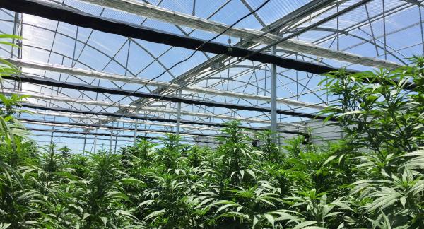 Cultivo de Cannabis Medicinal en Invernadero