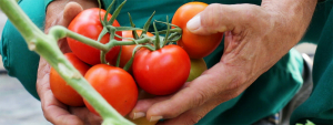 OZONO agrícola. El revolucionario desinfectante natural a prueba en 22 Hectáreas de Tomate