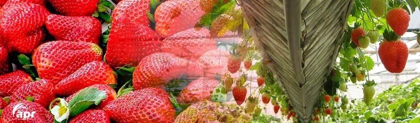 strawberry greenhouse apr