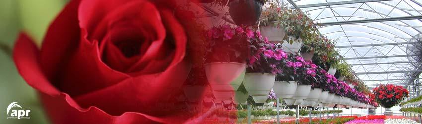 invernaderos-rosas