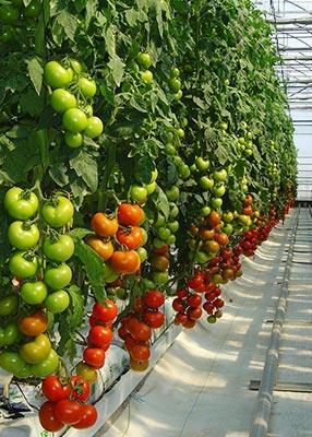 invernaderos-tomate
