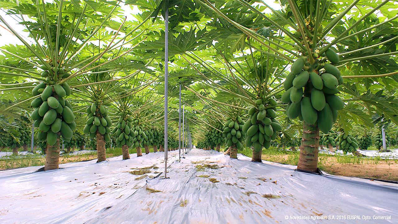 Fabricaci N De Invernaderos De Papaya En Almer A