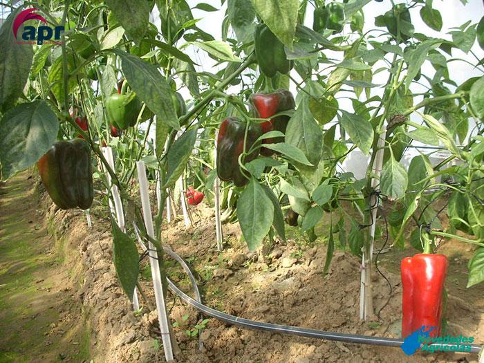 Construcci n de invernaderos de tomates y pimientos en india for Construccion de viveros e invernaderos