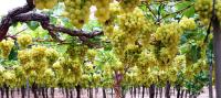 Cómo cultivar y recolectar Uva de Mesa